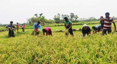 মৌলভীবাজারের কমলগঞ্জে কৃষকের ধান কেটে বাড়ি পৌঁছে দিল ছাত্রলীগ