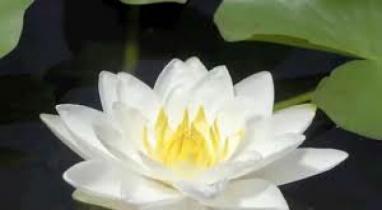 উত্তাল ১২ মার্চ, শাপলাকে জাতীয় ফুল করার দাবি