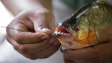 বাংলাদেশে পিরানহা-আফ্রিকান মাগুর মাছ নিষিদ্ধ কেন?